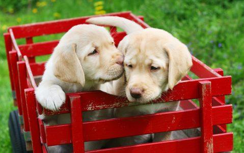 Labrador Puppies Jigsaw Puzzle