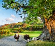 Lake District Sheep