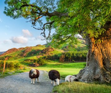 Lake District Sheep Jigsaw Puzzle
