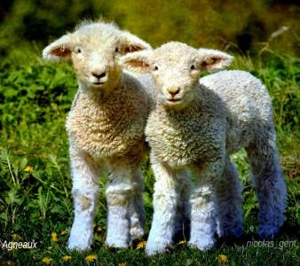 Lambs Jigsaw Puzzle