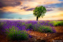 Lavender Field Jigsaw Puzzle
