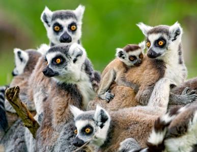 Lemurs Jigsaw Puzzle