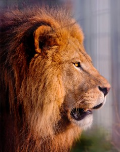 Lion Profile Jigsaw Puzzle