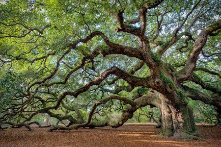 Live Oak Jigsaw Puzzle