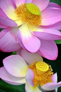 Lotus Pair Jigsaw Puzzle