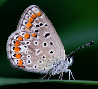 Lycaenid Butterfly Jigsaw Puzzle