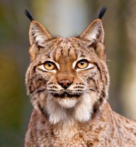 Lynx Jigsaw Puzzle