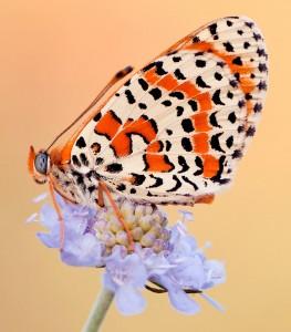 Melitaea Butterfly Jigsaw Puzzle