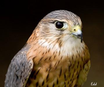 lakechamplainorganisms - Merlin (Falcon)