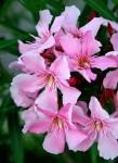 Monaco Flowers