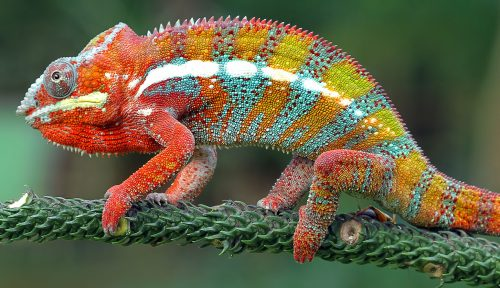 Multi-Colored Chameleon Jigsaw Puzzle