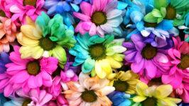 Multicolored Daisies