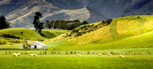 New Zealand Sheep Jigsaw Puzzle