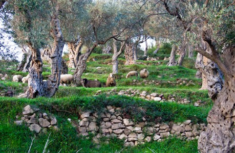 Olive Grove Sheep Jigsaw Puzzle