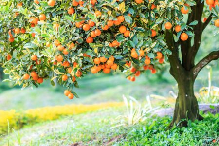 Orange Tree Jigsaw Puzzle