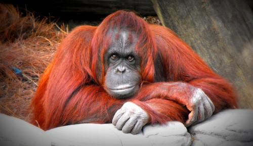 Orangutan Jigsaw Puzzle