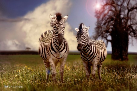 Pair of Zebras Jigsaw Puzzle