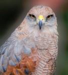 Panamanian Hawk