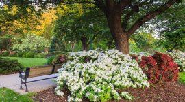 Park Azaleas