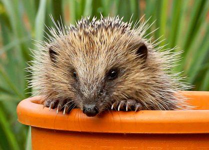 Peeking Hedgehog Jigsaw Puzzle