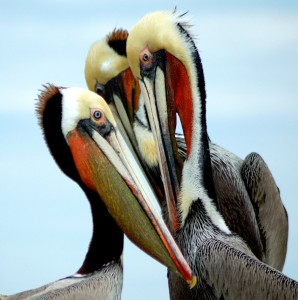 Pelican Jigsaw Puzzle