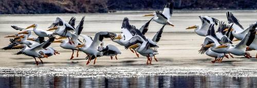 Pelican Flight Jigsaw Puzzle
