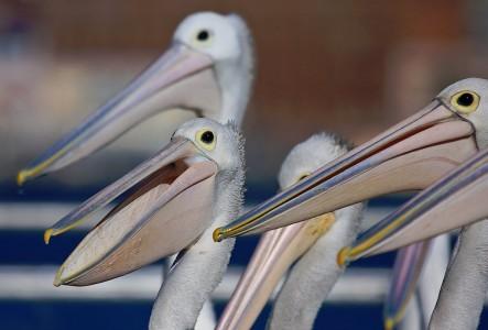 Pelicans Jigsaw Puzzle