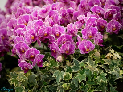 Phals Jigsaw Puzzle