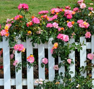 Picket Fence Roses Jigsaw Puzzle