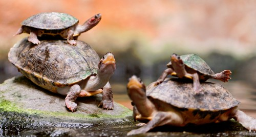 Piled Turtles Jigsaw Puzzle