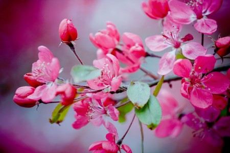 Pink Cherry Blossoms Jigsaw Puzzle
