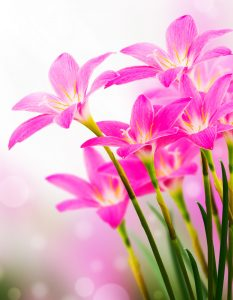 Pink Lilies Jigsaw Puzzle