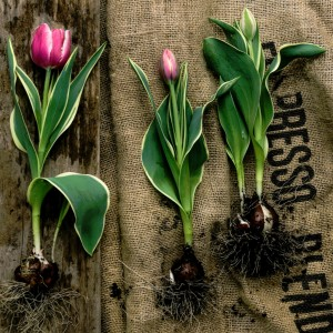 Planting Tulips Jigsaw Puzzle