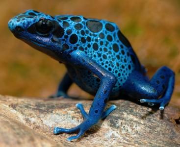 Poison Dart Frog Jigsaw Puzzle