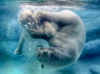 Polar Bear Play