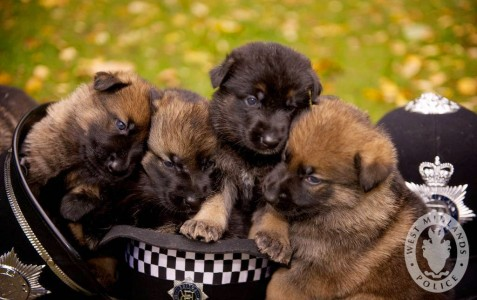 Police Puppies Jigsaw Puzzle