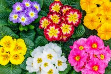 Primrose Blooms