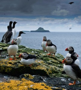 Puffins Jigsaw Puzzle