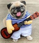 Pug Musician
