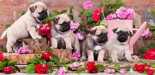 Pug Puppies Jigsaw Puzzle