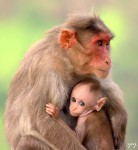 Red Faced Macaque