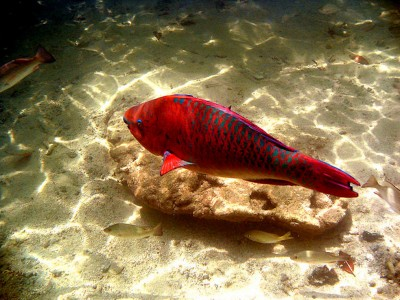 Red Fish Jigsaw Puzzle