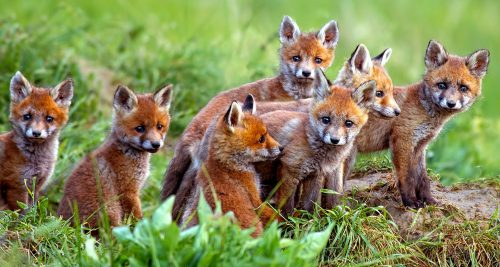 Red Fox Kits Jigsaw Puzzle