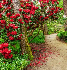 Red Rhododendron Jigsaw Puzzle