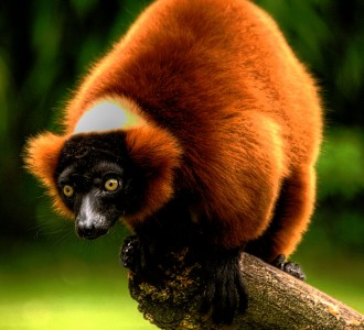 Red Ruffed Lemur Jigsaw Puzzle