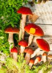 Red Top Mushrooms