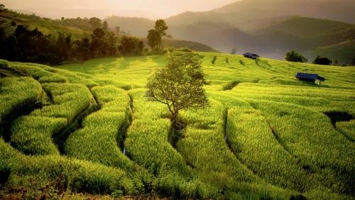 Rice Fields Jigsaw Puzzle