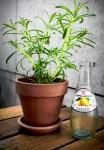 Rosemary and Lemonade