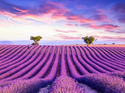 Rows of Lavender Jigsaw Puzzle