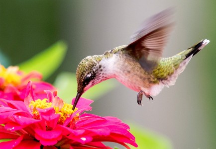 Ruby-throated Hummingbird Jigsaw Puzzle